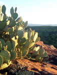 Picture of a prickly pear cactus at Red Tank Draw near Sedona, Arizona