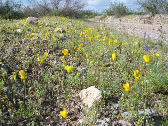 Sonoran Desert spring wildflowers next to a wash