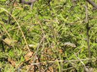 Picture of a Sonoran Whipsnake (Masticophis bilineatus) near Sedona, Arizona