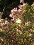 Picture of a Verde Valley Shrub Near Sedona, Arizona