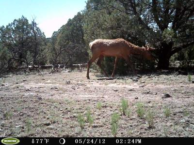 Bull Elk Caught With Wildlife Cam