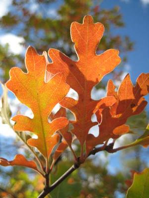 Fall colors showing on the oak leaves