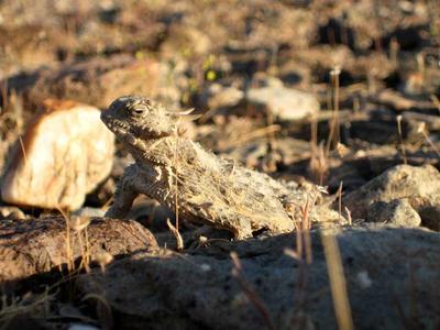 Desert Horned Lizard