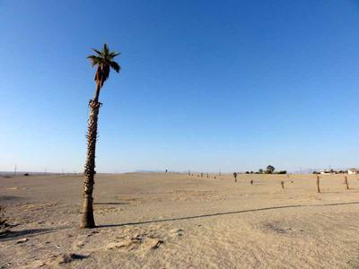 A Lone Palm Tree in Salton City