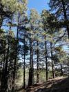 Tall Ponderosa Pine Trees on Hualapai Mountain