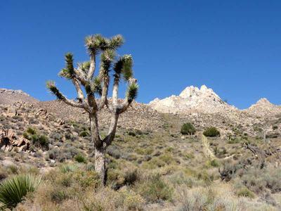 Joshua Tree along Short Canyon Trail