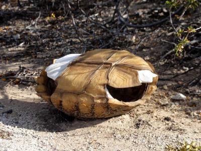 Desert Tortoise Shell